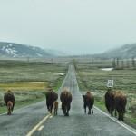 La route appartient en priorité aux bisons à Yellowstone !
