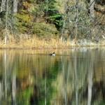 Un canard noir du Canada dans la Vallée des 5 Lacs près de Jasper