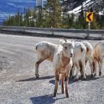 Les chèvres sont aussi de la partie sur la route...