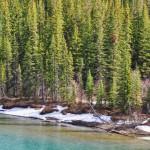 La Bow River turquoise, les conifères verts vifs
