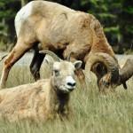 Mouflons le long de la route dans le parc national de Jasper