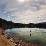 Oie sauvage prenant son envol - Vallée des 5 Lacs, Canada