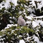 Un oiseau (Mésangeai du Canada ?) qui n'attend pas là par hasard...