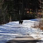 Notre première rencontre avec un ours brun sur le chemin de Sundance Canyon (Banff)