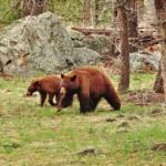 Dans la famille ours noir, la mère et son petit