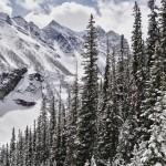 """Les """"sapins"""" locaux sont plus fins et plus hauts que dans les Alpes"""