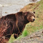 Un grizzly dans la Lamar Valley à Yellowstone
