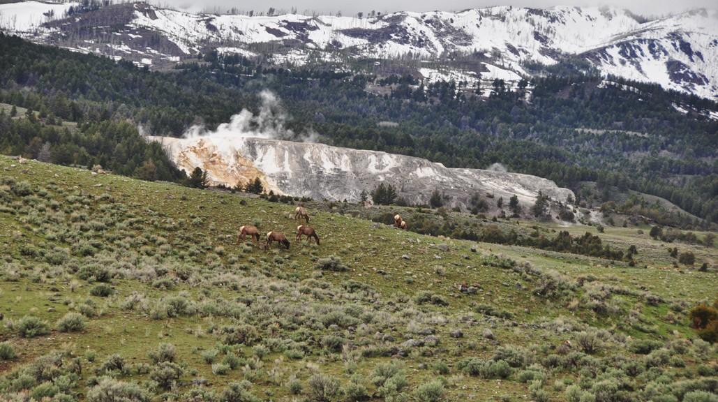 Vue d'ensemble des Mammoths Hot Springs et wapitis au premier plan - Yellowstone