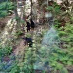 Une famille d'ours noirs légèrement effrayée par le train