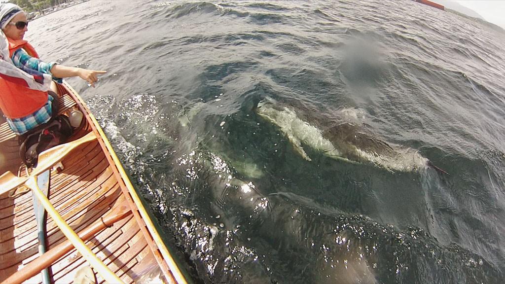Un dauphin blanc du Pacifique passe juste sous notre canoë vers Cowichan Bay - Île de Vancouver