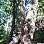 Les sapins centenaire de Cathedral Grove - Vancouver Island