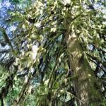 Mousse folle sur Douglas géant à Cathedral Grove - Île de Vancouver