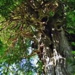 Les racines poussent même en hauteur dans la forêt humide - BC, Canada