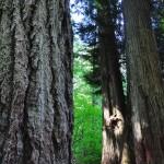 Détail des troncs de sapins dans la rain forest de Cathedral Grove