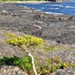 Un bonzai naturel sur Botany Bay - côte ouest de Vancouver Island