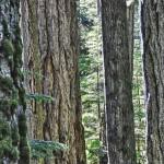 Notre champ de vision ne couvre pas la totalité de la hauteur de la forêt à Cathedral Grove !