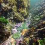 Etoiles de mer et anémones colorent le fond de l'océan - Île de Vancouver