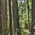 Gros plan sur la forêt humide - Cathedral Grove, BC