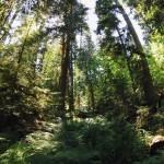 Cathedral Grove, une véritable jungle... au Canada !