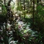 La rain forest juste derrière Long Beach - côte ouest île de Vancouver