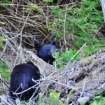 L'ours noir qui nous guette à Salmon Beach - Vancouver Island