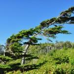Les pins prennent le sens du vent à Ucluelet - Canada, BC