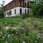 Les fleurs envahissent les jardins abandonnés à Woodbridge - Detroit