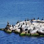 Les cormorans règnent en maître sur les îlots du Saint-Laurent